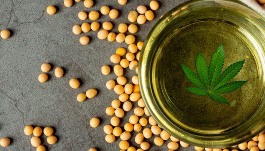 aceite de soja con marihuana